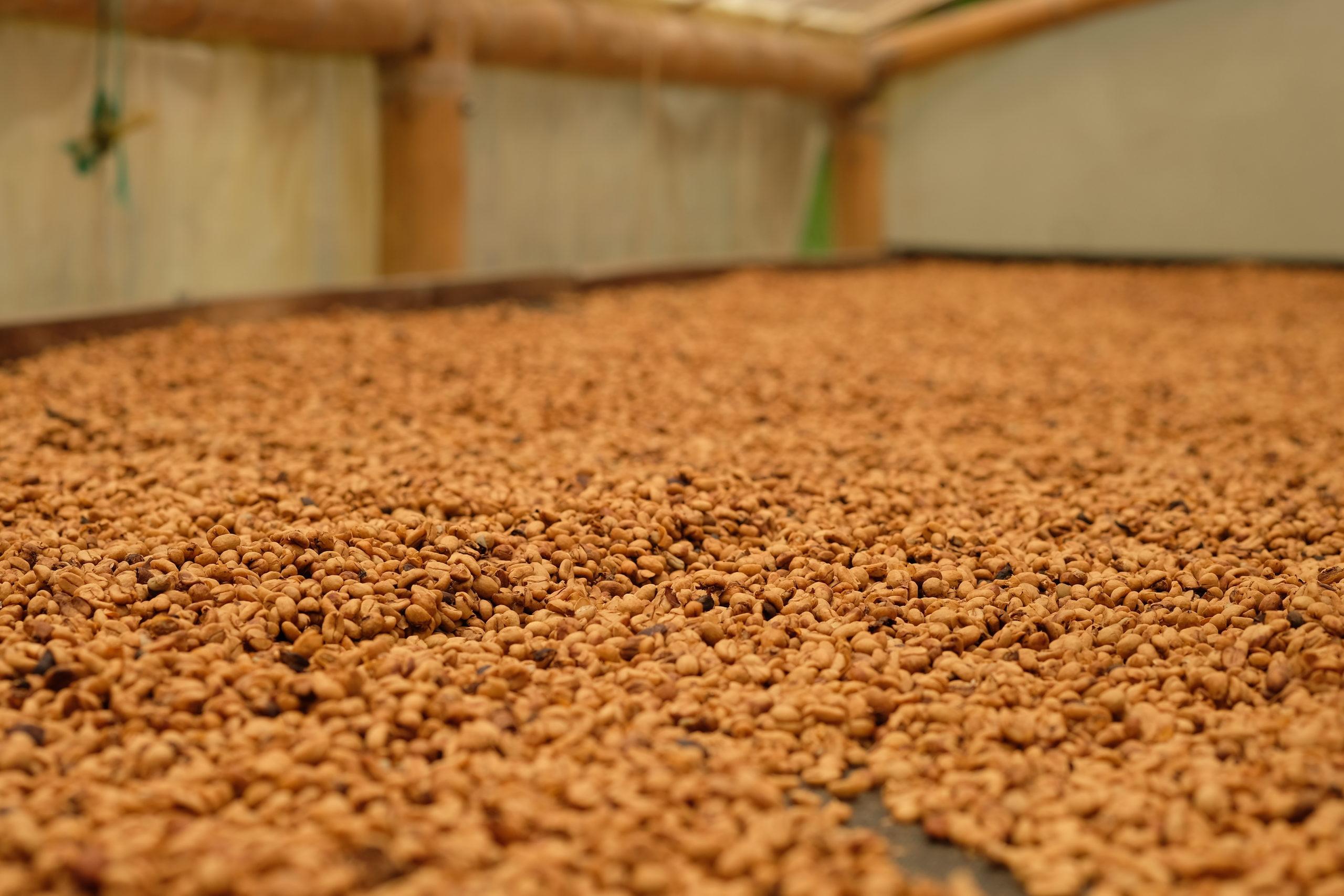 Arabica Kaffeebohnen auf Trockenbett