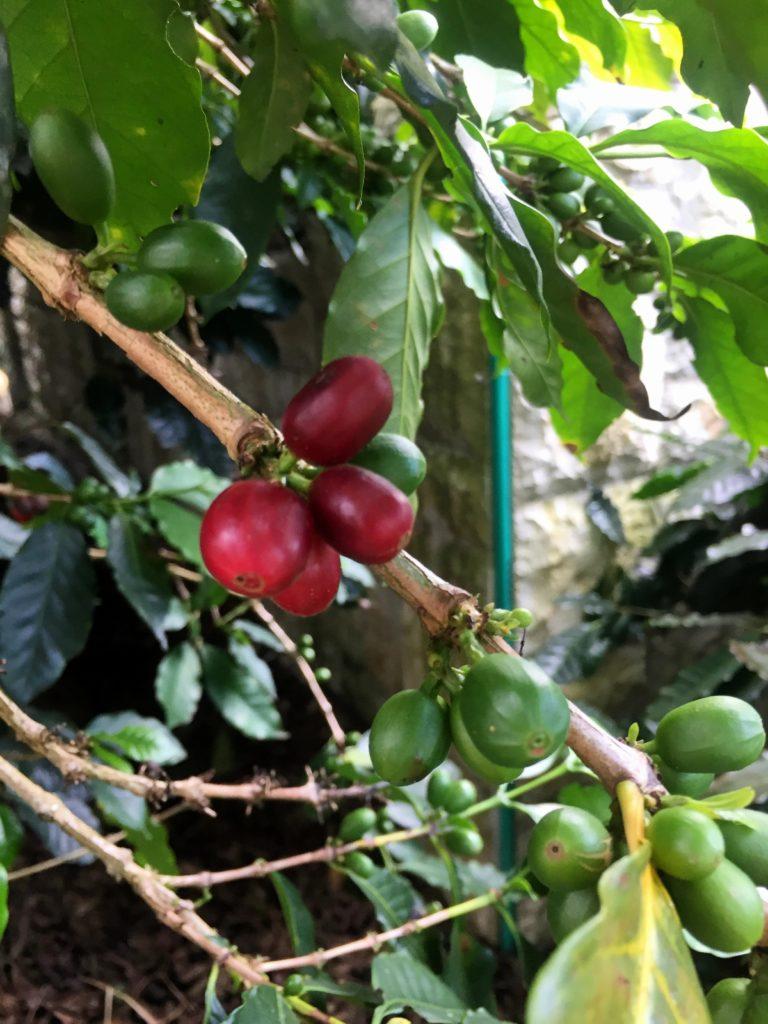 Reife Kaffeefrucht in Kolumbien