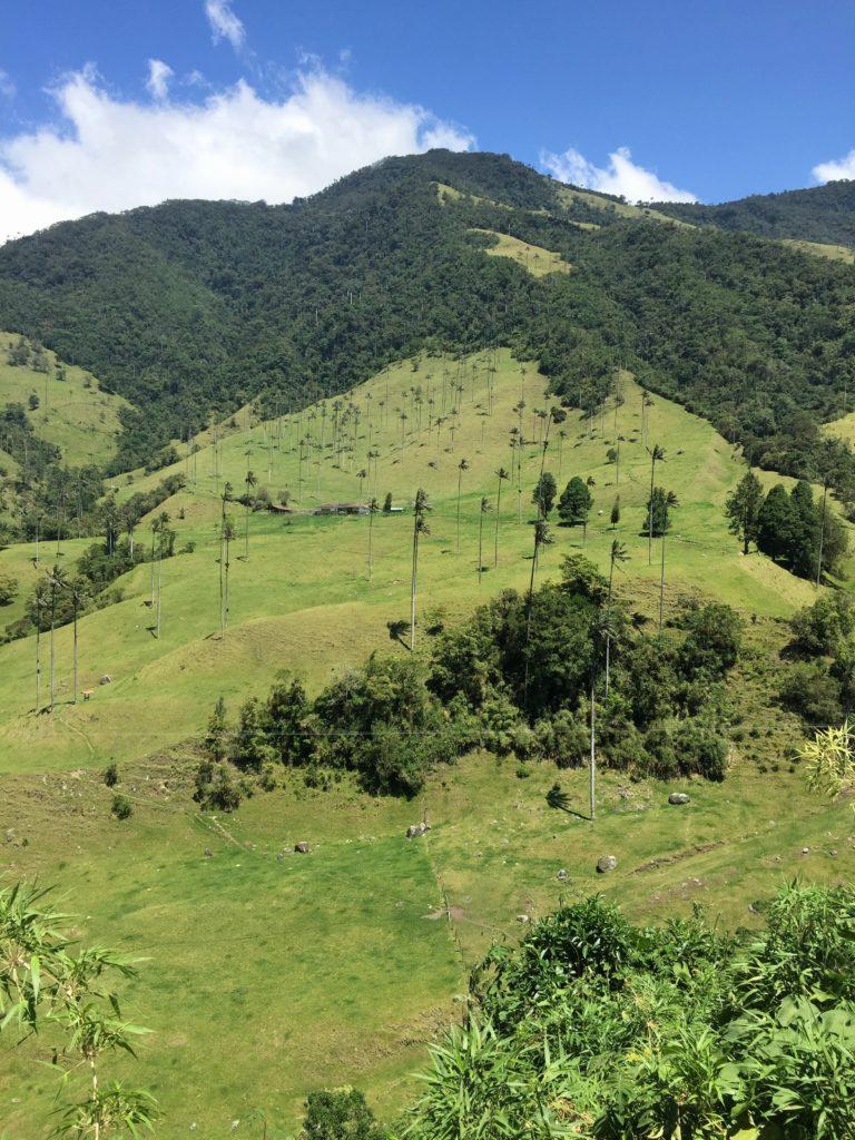 Berghänge im Valle de Cocora mit Wachspalmen