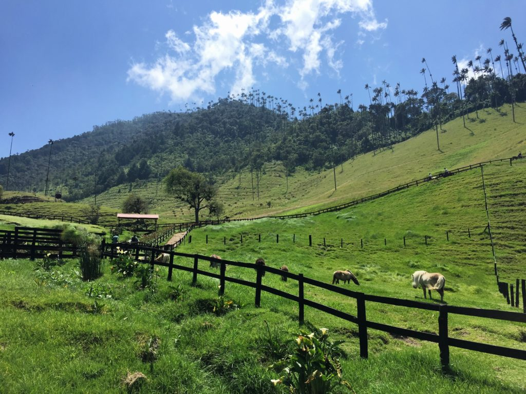 Valle de Cocora mit hohen Wachspalmen