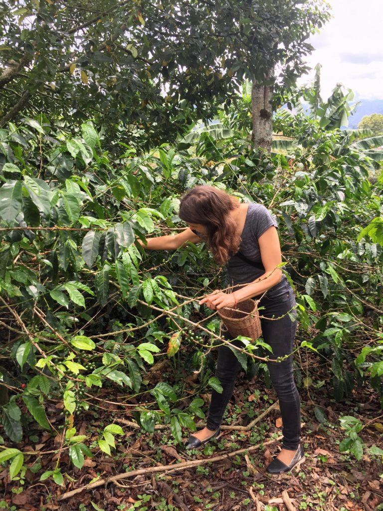 Kaffeeernte in Kolumbiens Zona Cafetera